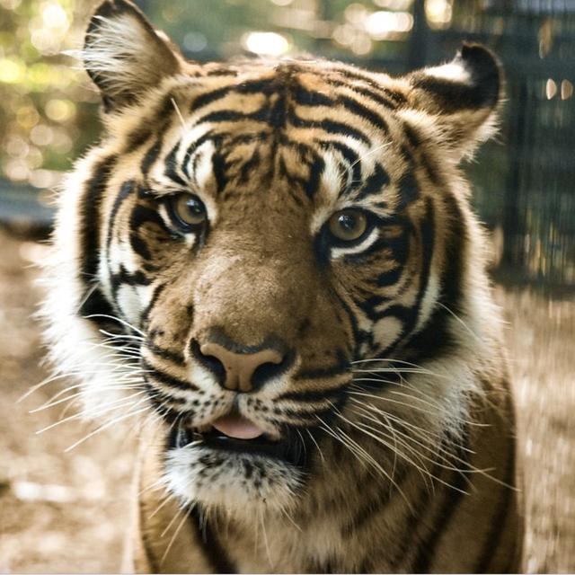 Tiger, Mammal, Wildlife, Terrestrial animal, Vertebrate, Bengal tiger, Felidae, Siberian tiger, Whiskers, Snout,