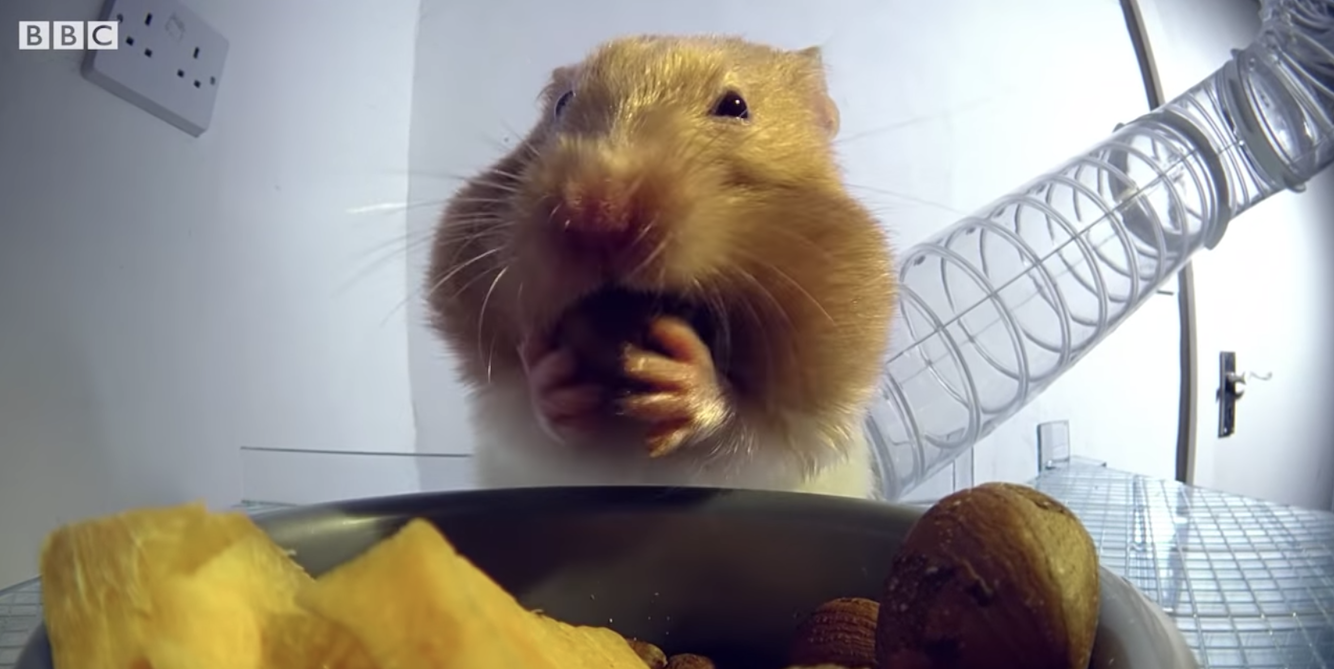 This Hamster Shoving Food In His Face Is A Mood
