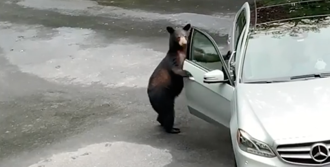 Watch This Bear Try to Break Into a Car—and How a Hilarious Group of Friends Scared It Away