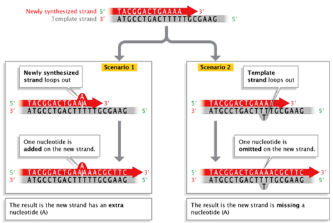 when strand slippage occurs during dna replication, a dna strand may loop out, resulting in the addition or deletion of a nucleotide on the newly synthesized strand