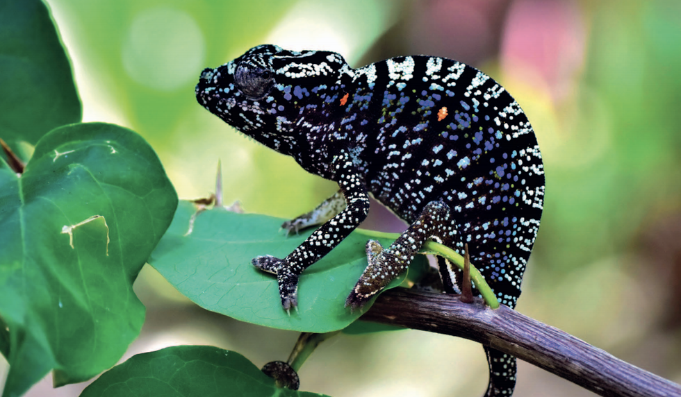 This Remarkable Chameleon Disappeared 107 Years Ago. It Just Returned.
