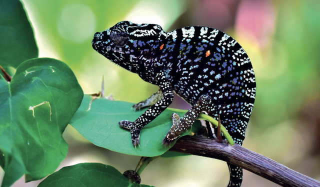 a female voeltzkow's chameleon showing her stress colors and patterns
