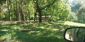gezin-jachtluipaarden-safaripark-beekse-bergen