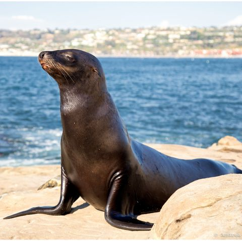 Sea Lion On Rock At Sea Shore