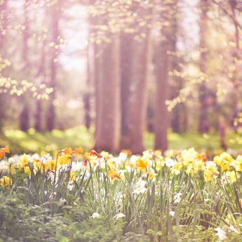 Spring weather - Yellow and orange daffodils