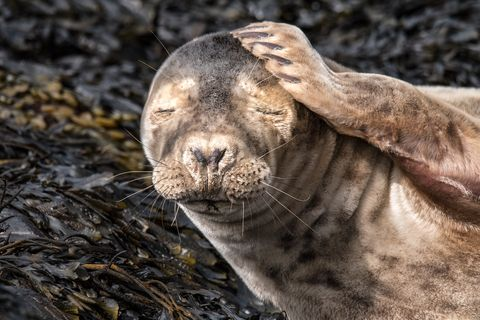 Seal - hangover - Mike Radcliffe Photography
