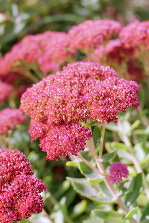 easiest flowers to grow sedum
