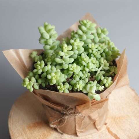 Sedum Morganianum succulent plant isolated on gray background