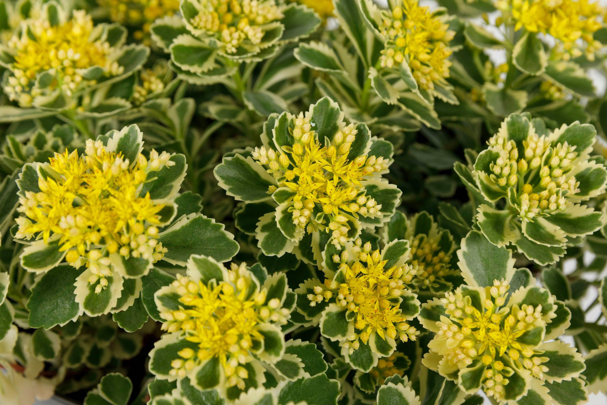 Chelsea Flower Show: Sedum Atlantis wins Plant of the Year 2019