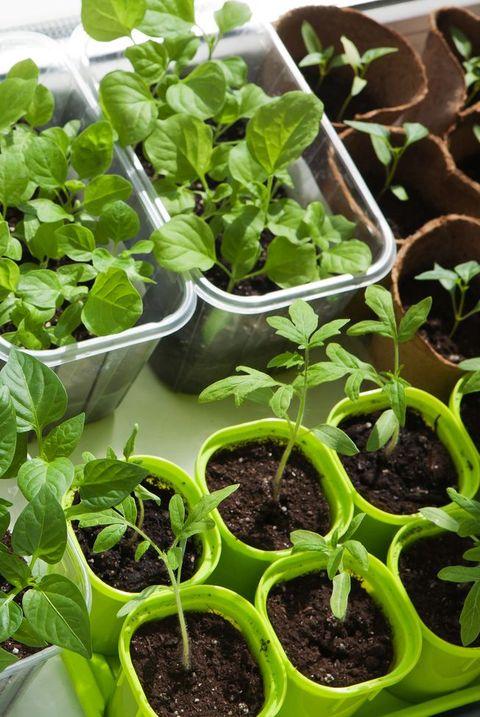 seedling of vegetables
