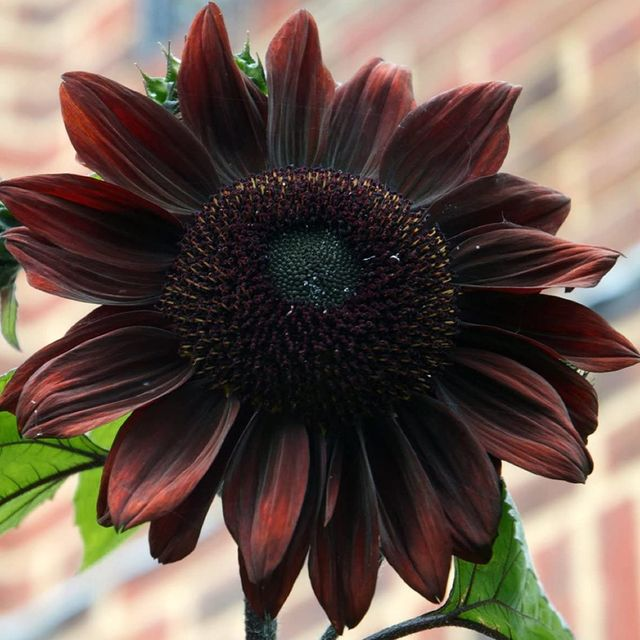 chocolate sunflower seeds