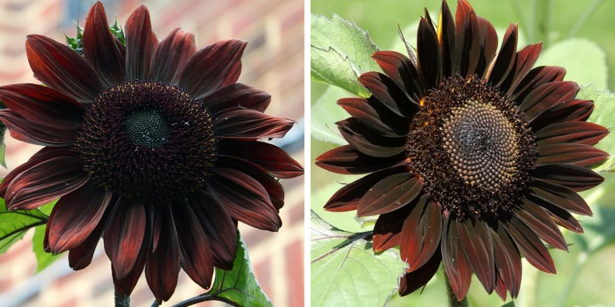 You Can Grow Chocolate Sunflowers To Add A Dramatic Touch To Your Garden