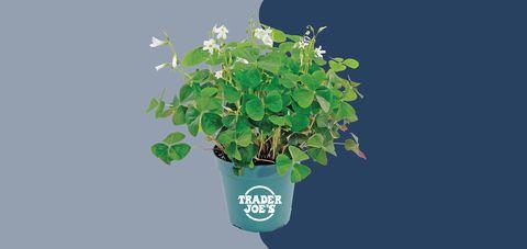 Flower, Flowering plant, Plant, Flowerpot, Leaf, Houseplant, Herb, mock orange, Annual plant, Morning glory,