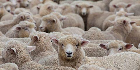 Sheep Crowded Together