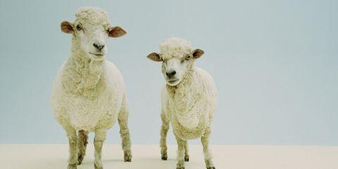 clone sheep