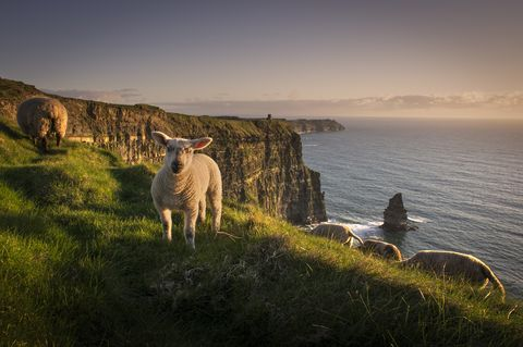 sheep on cliffs of moher, liscannor, ireland