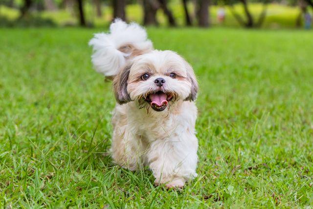 outdoor shot of a shih tzu dog walking on the grass land