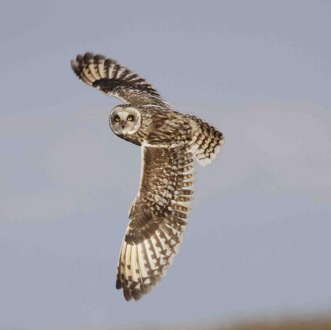 short eared owl, in flight, showing full wingspan