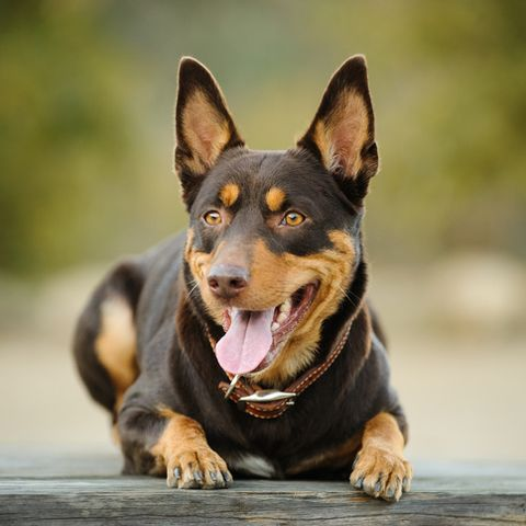 15 Short Haired Dogs Dogs Breeds With Short Hair