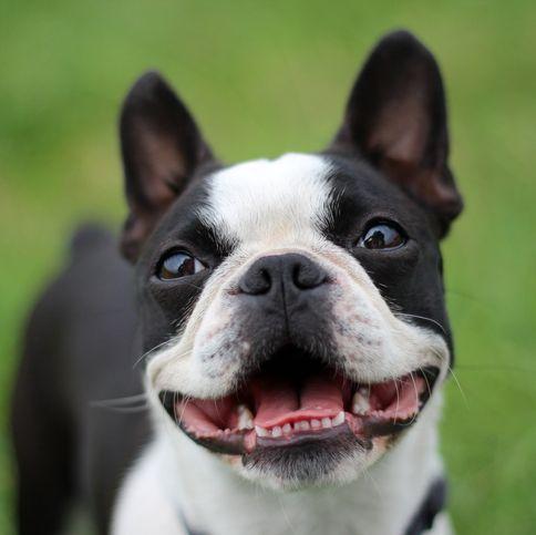 short-haired-dogs - Boston Terrier