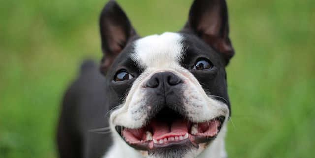 15 Short Haired Dogs Breeds