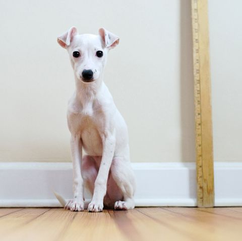 short-haired-dogs - Italian Greyhound