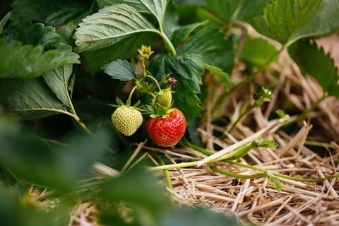Strawberries, Strawberry, Plant, Fruit, West Indian raspberry , Berry, Frutti di bosco, Strawberry tree, Food, Flower,