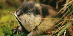 Het verhaal dat lemmingen zich massaal in zee storten hun ondergang tegemoet is een fabeltje.