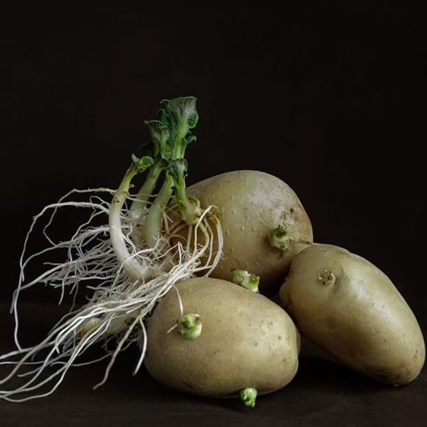 Potato sprouts and stems