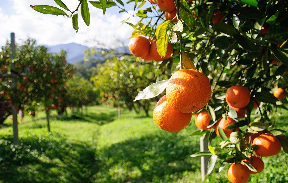 what orange juice has the most vitamin c