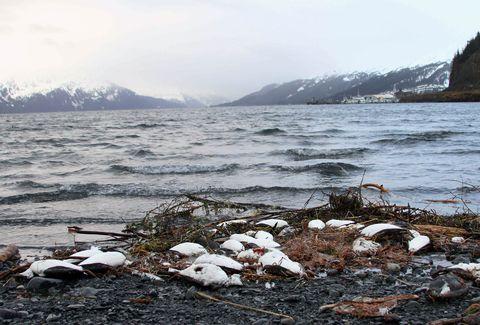 Alaska Bird Deaths, Whittier, USA
