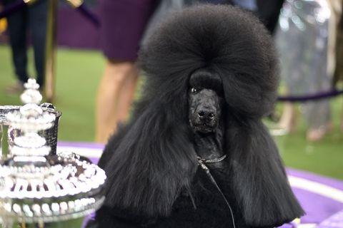 US-WESTMINSTER-DOG