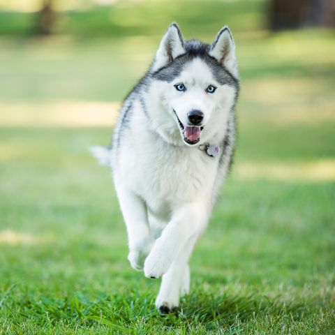 Siberian husky dog running on grass outdoors