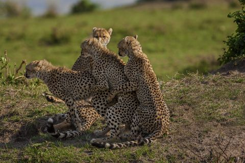 Side Shot of a Medium Group of Cheetahs While They're Mating