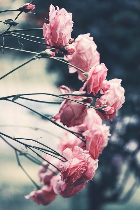 Significato dei fiori: a ogni colore di rosa il suo significato