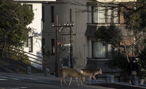 Animals taking over deserted cities during coronavirus