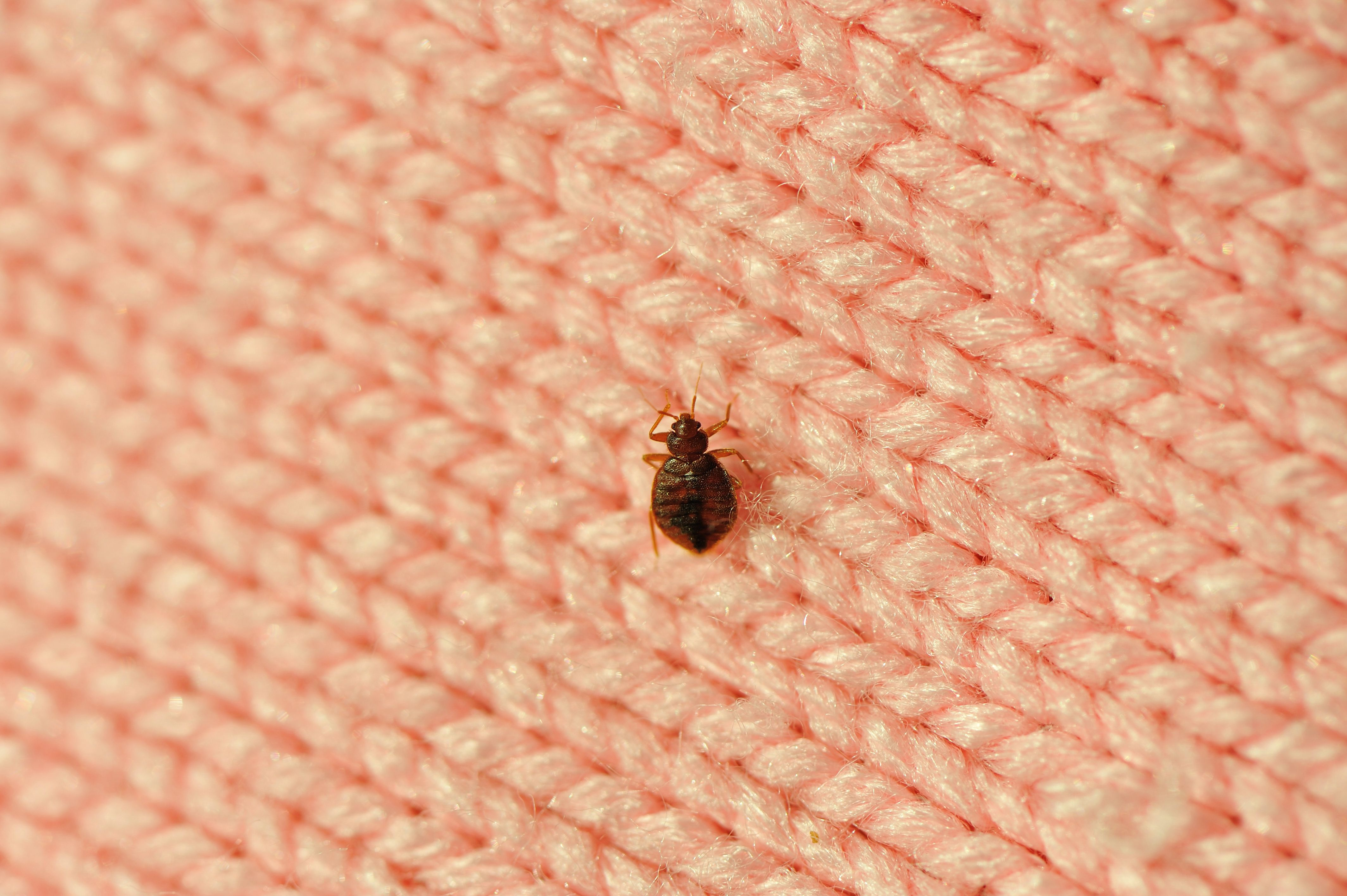 How To Get Rid Of Bed Bugs Step By Step Plan From Entomologists