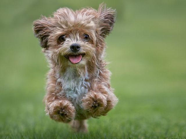 yorkshire terrier jumping