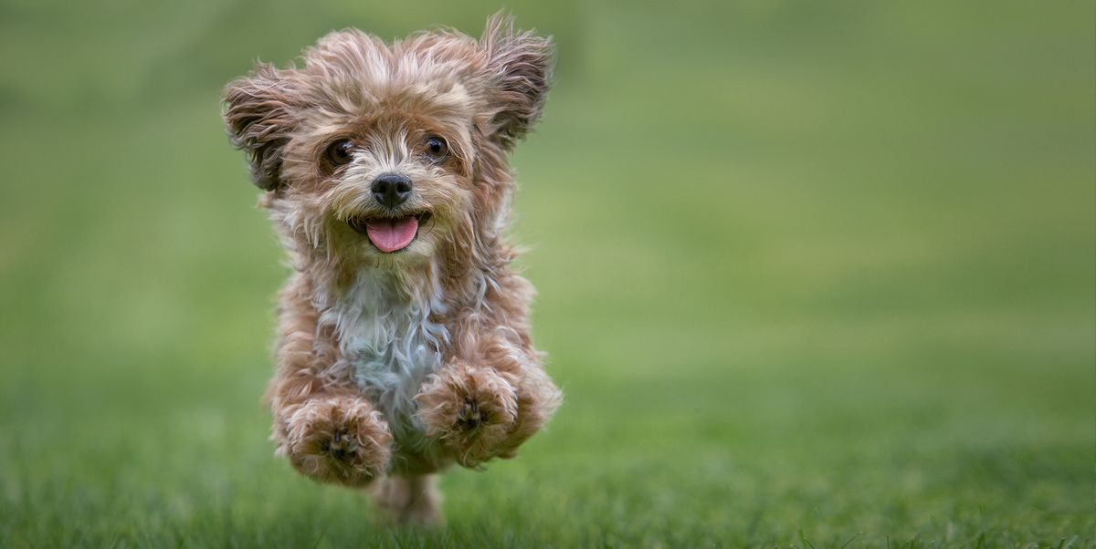 20 Best Hypoallergenic Dogs Top Dog Breeds That Dont Shed Fur