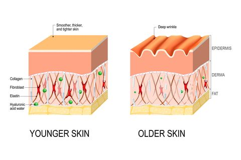 skin aging difference between the skin of a young and elderly person