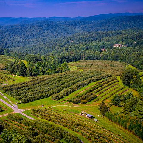 overhead view of an apple orchard on a mountain