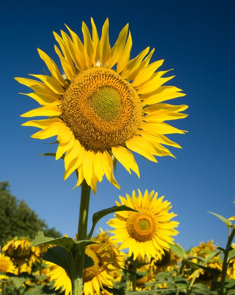 skyscraper sunflower types