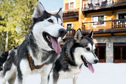 husky dogs in the snow