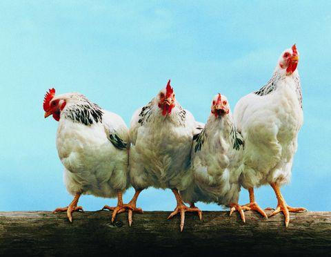 2-chicken.jpg
