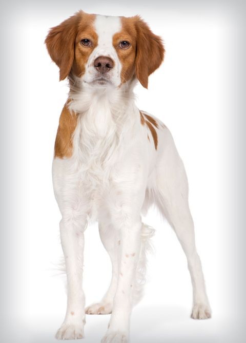 best-dogs-brittany.jpg