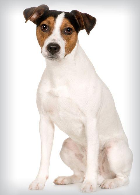 best-dogs-parson-russell-terrier.jpg