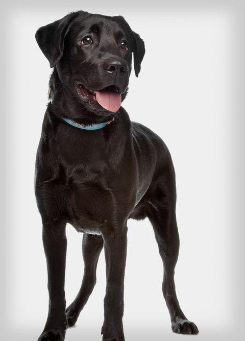 popular-dogs-lab.jpg