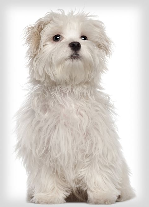 popular-dogs-maltese.jpg