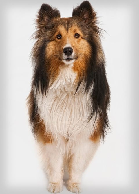popular-dogs-shetland-sheepdog.jpg