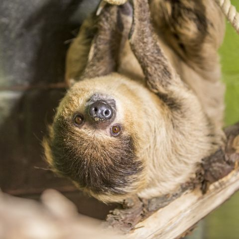 Sloth retirement home opens in wales and you can visit